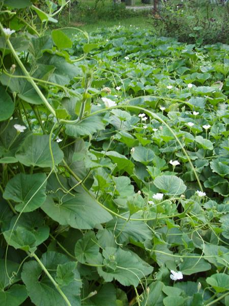 cultivo cabaça